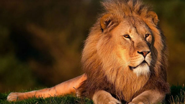 Asiatic Lions Population Increase To 29% In India