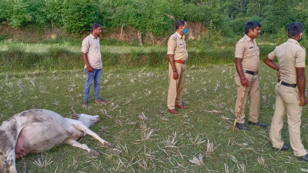 Three Cattle Dies In Chikkamagaluru By Eating Poison Mixed Jackfruit