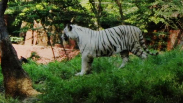 8 Year Old White Tiger Dies In Hyderabad Zoo