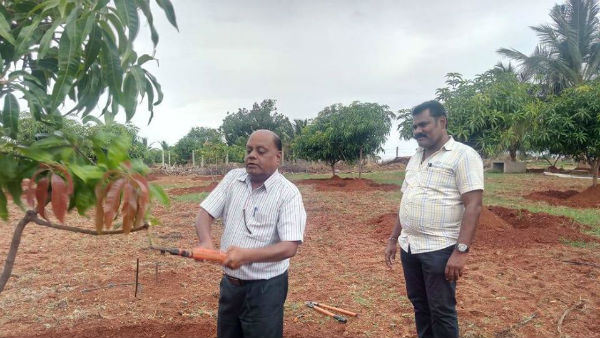 Tips To Farmers For Mango Tree Maintenance