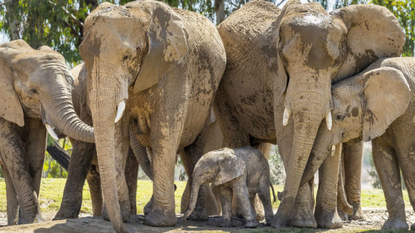 More than 350 Elephants Mysterious Deaths in Africa