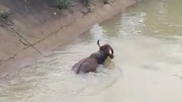 Bison Came In Search Of Food Fell Into Canal In Davanagere