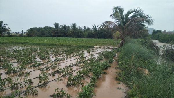 Crops Destroyed By Heavy Rain Since Two Days In Ballari