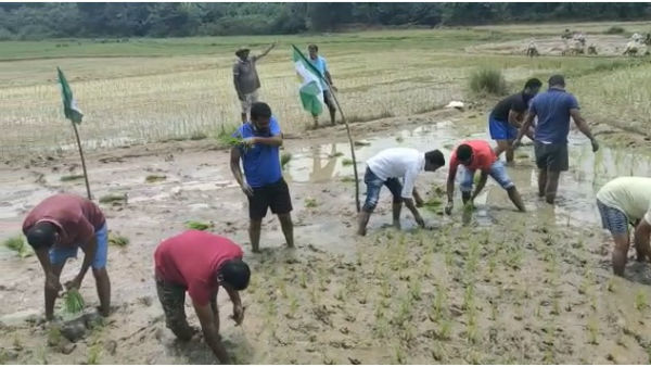 JDS Activists Cultivated Paddy With Farmers In Mudigere Chikkamagaluru