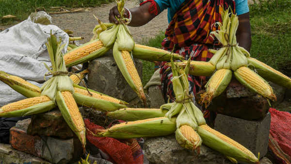 Tips To Get Profit In Baby Corn And Sweet Corn Crops