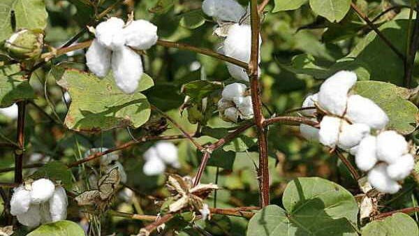 300 Crores Worth Of Illegal Ht Cotton Seeds Sold