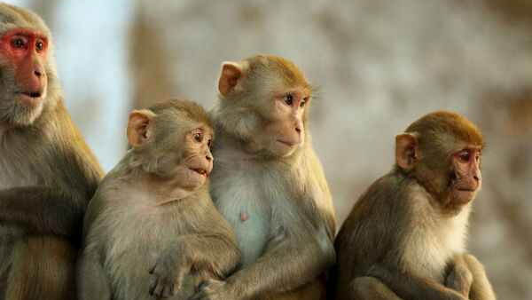 Forest Department Arrested 3 For Hunting Monkeys In Madikeri