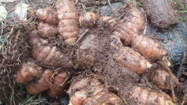 Good News For Farmers Turmeric Crop Under Pmfby