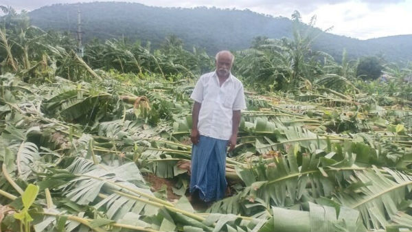 Charamarajanagara: Heavy Rain Damages Banana Crop Worth Rs 1.5 Lakhs