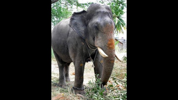 Mysuru: Forest Department Finalised Total 5 Elephants For Dasara