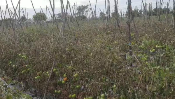 Kolar: Miscreants Sprayed Weed Killer And Destroyed 2 Acres Of Tomato Crops