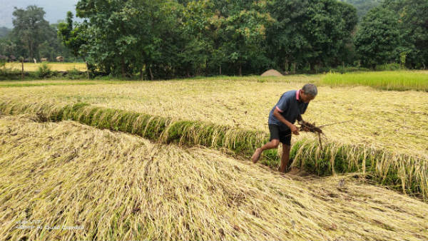 Heavy Rain In Uttara Kannada District In Last Two Days: Crop Damaged
