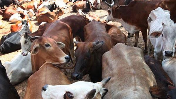 Mangaluru: Illegal Shipment Of Cows In Car, Shot By Police