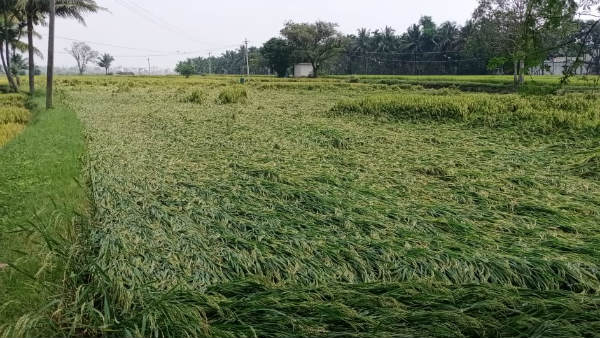 Heavy Rain In Davanagere District: Crop Damaged