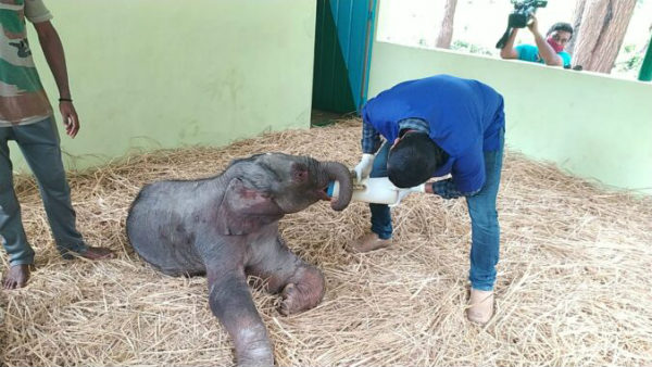 Shivamogga: 6 Days Old Elephant Responding To Treatment In Sakerebailu Elephant Camp