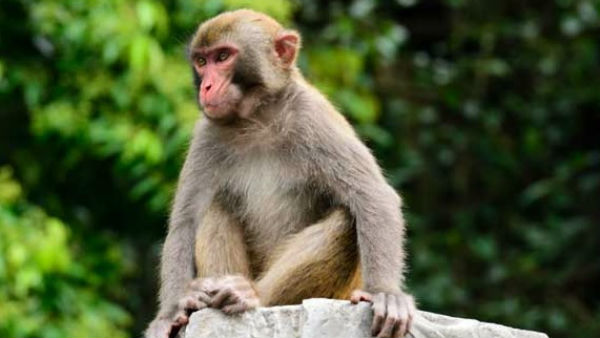 Udupi: 15 Monkeys Poisoned And Threw On Roadside At Karkala