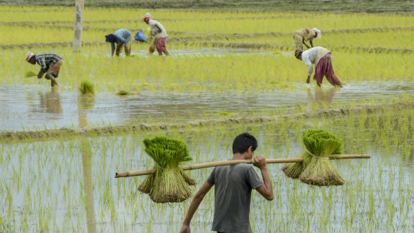 Change In Weather Tips To Farmers To Protect Paddy Crop