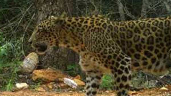 Tumkur: Woman Killed By Leopard In Manikuppe Village