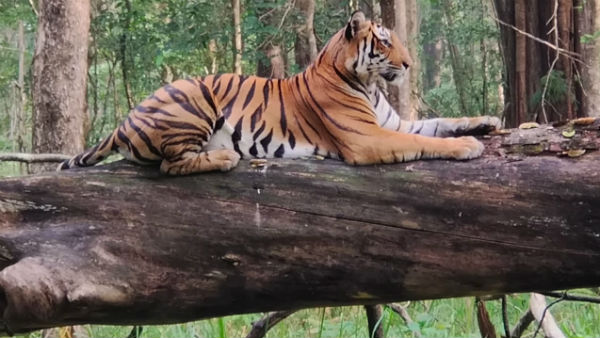 Chikkamagaluru: Tourists On Safari Get A Rare Glimpse Of Tiger Sitting On Tree In Bhadra Wildlife Sanctuary