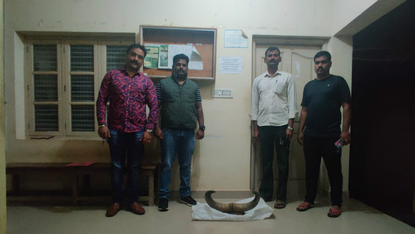 Indian bison horns trophy seized by cid forest cell