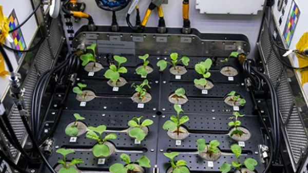 NASA Grows Radishes In Space Under Microgravity