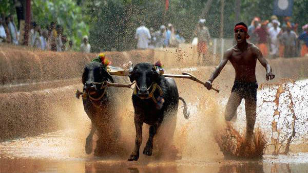Kambala season is likely to begin in the last week of January in coastal districts