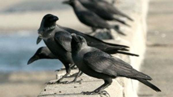 Bird Flu Virus Detected In Scores Of Dead Crows: Central Govt Issued An Alert To The States
