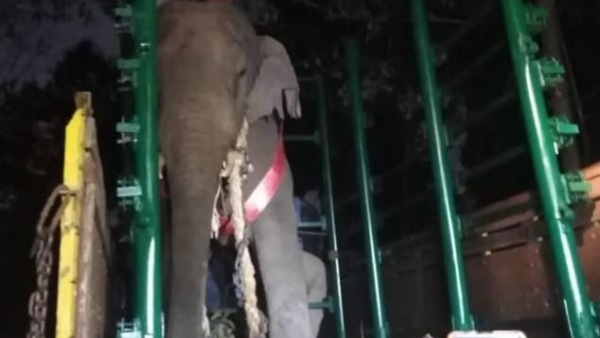 Male Elephant Radio Collared In Hassan