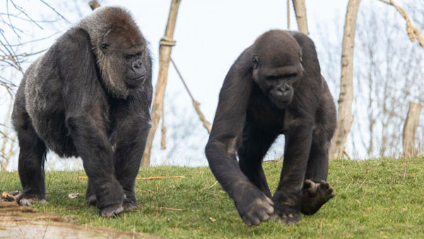 Two Gorillas At US Zoo Test Positive For Covid-19 At San Diego