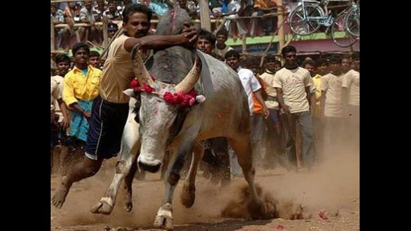 Tamilunadu Pongal: Jallikattu Competition Begins At Madurai