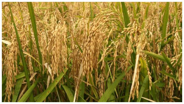 Requested Central Government To Purchase 45 Lakh Tonnes Of Paddy
