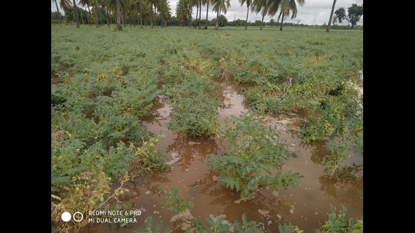 The Complete Destruction Of The Chickpea Crop By The Untimly Rain In Chitradurga