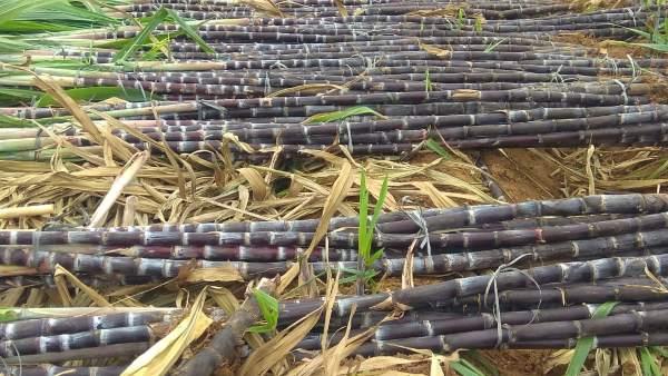 Sankranti Special; ಹಬ್ಬದ ಕಳೆ ಹೆಚ್ಚಿಸುವ ಚನ್ನಪಟ್ಟಣದ ಕರಿ ಕಬ್ಬು