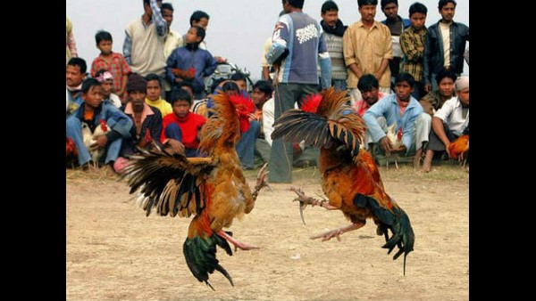 Telangana Police Put Roosters In Prison As Betting Case Evidence