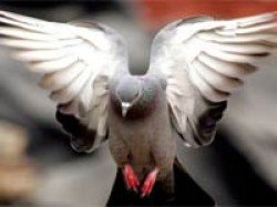 How Do Homing Pigeons Navigate