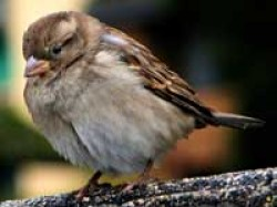City Sparrows Win Over Electromagnetism