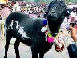 Bakr Eid Or Bakrid Muslim Festival