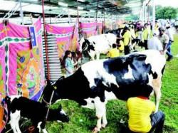 February 3 To 4 High Milking Contest Held In Jk Playground Mysuru