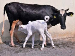 Karnataka Became The Top Cow Milk Production State In India A Manju
