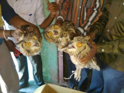 Owl Trafficking Racket In Belagavi