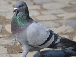 Pigeons With Chinese Number Tags Found At Arunachal Pradesh