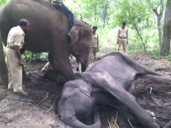 A 30 Year Old Female Elephant Dies In Bandipur Forest Area
