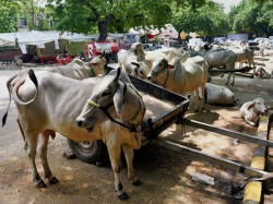 Beef Festival In Kerala Against Ban On The Sale Of Cattle