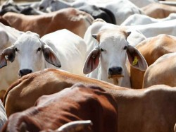 Declare Cow As National Animal Says Jamiat Chief Maulana Syed Arshad Madani