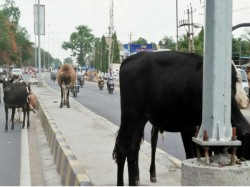 Cattle Create Problem For Vehicles In Gundlupete