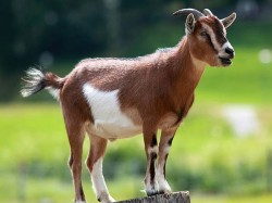 Up Goat Achieves Notoriety For Eating Master S Rs