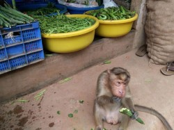 Here Is The Decent Monkey In Srinivasapura