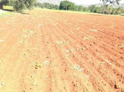 Some Perpetrators Destroy Cotton Crops Of Gundlupet Farmers