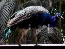 Twitter Jokes Make Mockery Of Our National Bird Peacock