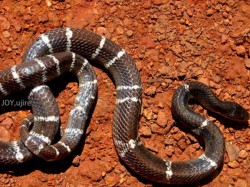 Woman Dies Snake Bite Byndoor Udupi District